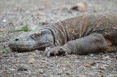 Δράκος Komodo ύπνου Στοκ εικόνες με δικαίωμα ελεύθερης χρήσης