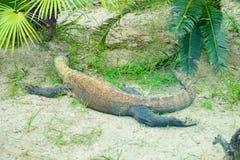 Δράκος Komodo στοκ φωτογραφίες με δικαίωμα ελεύθερης χρήσης