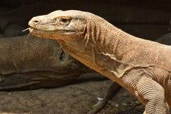 Δράκος Komodo στοκ εικόνες