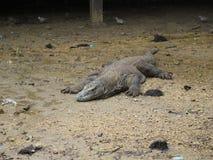 Δράκος Komodo Στοκ εικόνες με δικαίωμα ελεύθερης χρήσης