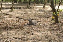 Δράκος Komodo στοκ φωτογραφία με δικαίωμα ελεύθερης χρήσης