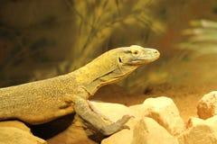 Δράκος Komodo Στοκ Φωτογραφία
