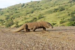 Δράκος Komodo, komodoensis Varanus στοκ εικόνα