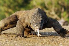 Δράκος Komodo, komodoensis Varanus στοκ φωτογραφία με δικαίωμα ελεύθερης χρήσης