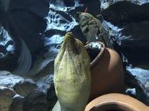 Δράκος Moray και Snowflake Moray Στοκ Φωτογραφία