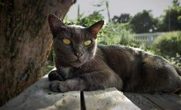Δράση γατών Korat ξυπνήστε κάτω από το μεγάλο δέντρο στοκ εικόνα με δικαίωμα ελεύθερης χρήσης