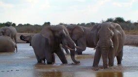 Δράση οικογενειακού λουσίματος ελεφάντων σε ένα waterhole Αφρική απόθεμα βίντεο