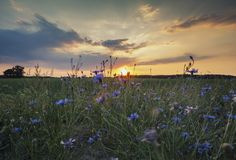 Δραματικά σύννεφα ηλιοβασιλέματος πέρα από το άγριο λιβάδι Cornflower στοκ εικόνες