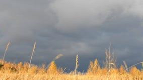 δραματικός ουρανός Βαριά σκοτεινά σύννεφα Ξηρά κίτρινη χλόη αναμμένη από τις ταλαντεύσεις ήλιων στον αέρα Τοπίο φθινοπώρου αναμον απόθεμα βίντεο