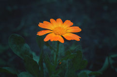 Δραματικό marigold Στοκ Εικόνα