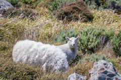 Δραπετευμένα πρόβατα στη Νέα Ζηλανδία στοκ φωτογραφίες