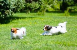 Δραστήριο άσπρο σκυλί δύο που τρέχει γύρω από την πράσινη χλόη Χνουδωτό κουτάβι που πηδά στο χορτοτάπητα Στοκ φωτογραφία με δικαίωμα ελεύθερης χρήσης
