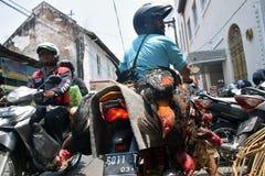 Δραστηριότητες κατάρτισης μαχητών κοκκόρων στην παλαιά πόλη του Σεμαράνγκ στοκ εικόνα