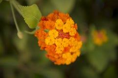 Δροσίστε τα χρωματισμένα λουλούδια Στοκ φωτογραφίες με δικαίωμα ελεύθερης χρήσης