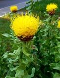 Δροσερό Safflower κίτρινο υπόβαθρο που θολώνεται Κίτρινος κάρδος στοκ εικόνα με δικαίωμα ελεύθερης χρήσης