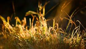 Δροσιά κινηματογραφήσεων σε πρώτο πλάνο που καλύπτεται grassblades στην αυγή Στοκ Φωτογραφίες
