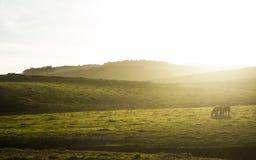 Δροσιά ομίχλης πρωινού λιβαδιού αλόγων στοκ φωτογραφίες