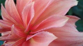 Δροσιά λουλουδιών Στοκ Εικόνες