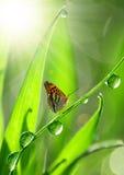 δροσιά πεταλούδων Στοκ εικόνα με δικαίωμα ελεύθερης χρήσης