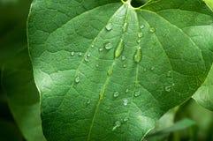 Δροσιά πρωινού σε ένα πράσινο φύλλο στον κήπο στοκ φωτογραφία με δικαίωμα ελεύθερης χρήσης