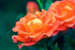 Δροσιά πρωινού στα κόκκινα τριαντάφυλλα στοκ εικόνες