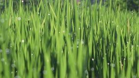 Δροσιά πρωινού στην αλλαγή εστίασης τομέων ορυζώνα ρυζιού απόθεμα βίντεο