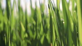 Δροσιά πρωινού στην κινηματογράφηση σε πρώτο πλάνο τομέων ορυζώνα ρυζιού απόθεμα βίντεο