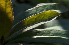 Δροσιά πρωινού το στα φύλλα άγριων φυτών ` s στοκ εικόνες με δικαίωμα ελεύθερης χρήσης