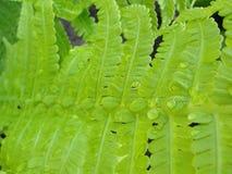Δροσιά σε ένα πράσινο φύλλο φτερών στοκ εικόνα με δικαίωμα ελεύθερης χρήσης