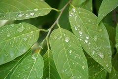 Δροσιά στα πράσινα φύλλα στοκ εικόνες