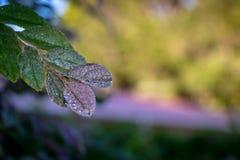 Δροσιά στα φύλλα, υπόβαθρο θαμπάδων Bokeh Στοκ Φωτογραφία