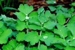 Δροσιά στα φύλλα μετά από τη βροχή Στοκ Εικόνες