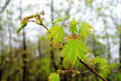 Δροσιά στα φύλλα μετά από τη βροχή Στοκ εικόνα με δικαίωμα ελεύθερης χρήσης