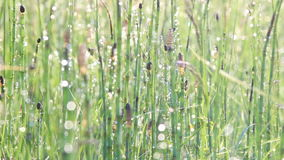 Δροσιά στην αλογουρά φιλμ μικρού μήκους
