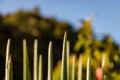Δροσιά στον κάκτο κήπων, μακρο στενός επάνω ανατολής Στοκ Εικόνες