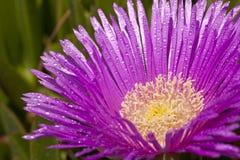 Δροσιά στο ιώδες λουλούδι Στοκ Εικόνα