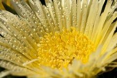 Δροσιά στο κίτρινο λουλούδι Στοκ Εικόνες