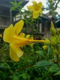 Δροσιά στο λουλούδι Allamanda στοκ εικόνες