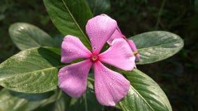 Δροσιά στο λουλούδι βιγκών Στοκ Εικόνες