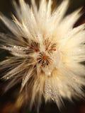 Δροσιά στο λουλούδι στοκ εικόνες