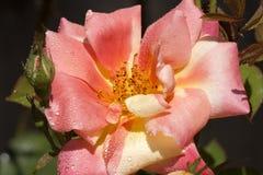 Δροσιά στο ρόδινο λουλούδι Στοκ Φωτογραφίες