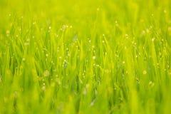 Δροσιά στο ρύζι απεικόνιση αποθεμάτων