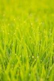 Δροσιά στο ρύζι διανυσματική απεικόνιση
