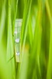 Δροσιά στο φύλλο ρυζιού Στοκ φωτογραφίες με δικαίωμα ελεύθερης χρήσης