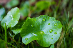Δροσιά του φύλλου Στοκ Εικόνα