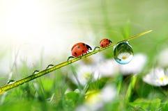 δροσιά ladybugs Στοκ Εικόνες