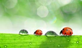 δροσιά ladybugs Στοκ φωτογραφία με δικαίωμα ελεύθερης χρήσης