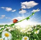 δροσιά ladybugs Στοκ εικόνα με δικαίωμα ελεύθερης χρήσης
