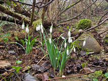 Δροσοσκέπαστα άγρια snowdrops στη φύση, ξύλο πρώιμη άνοιξη λουλουδιών Στοκ εικόνες με δικαίωμα ελεύθερης χρήσης