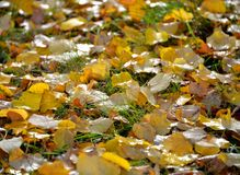 Δροσοσκέπαστος τάπητας του φυλλώματος φθινοπώρου στην πράσινη χλόη στοκ εικόνες